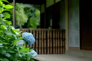 鎌倉;紫陽花